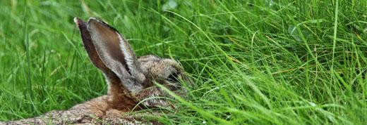 Rabbit in distress